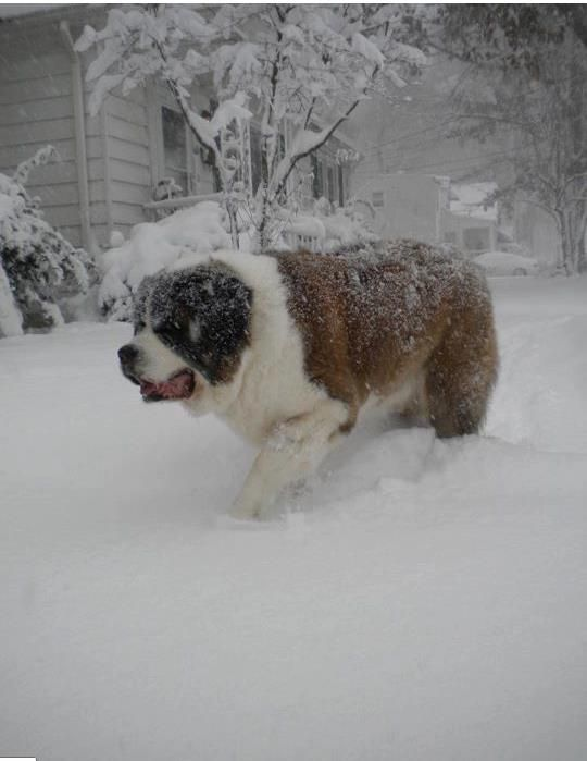 Saint Bernard. I have always loved these dogs and have often thought of getting one.