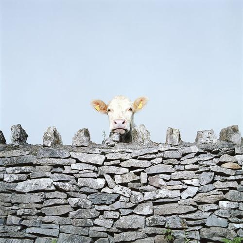 MOO COW, by  Andrew Hetherington - 20x200.com