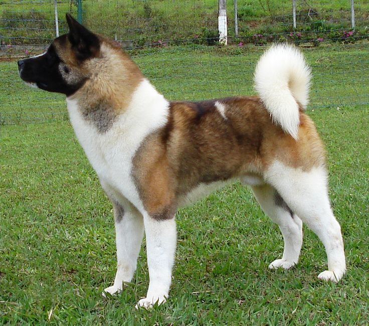 Akita americano: Perros Akita, Dogs, Akita Buscar, Akita S, Boy Jimmie ...