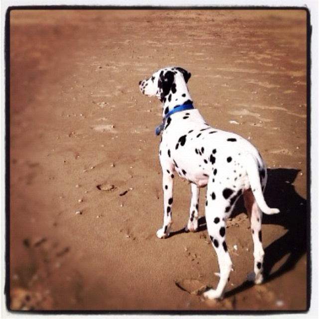 Dalmatian: Dalmatian Dalmatian, Collar Ready, Dalmatian Dogs, Dalmatians Rule, Animals Spots, Oreo Dogs