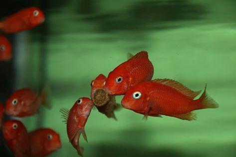 Tropheus Red Bishop - Feeding
