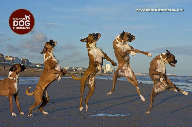 Brighton Dog Photography - belle by brightondogphotography, via Flickr