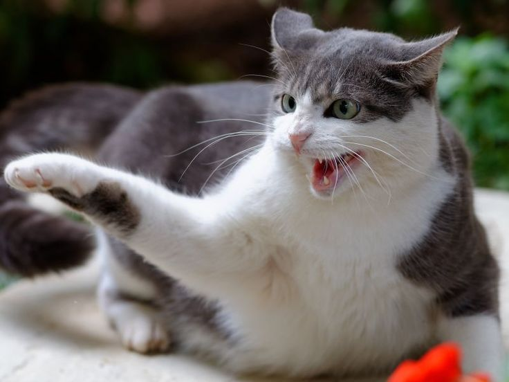 Mit einer aggressiven Katze zu schimpfen oder sie zu bestrafen, ist weder effektiv noch förderlich: Meist geraten die Vierbeiner dadurch noch mehr in Rage, sodass es für den ...
