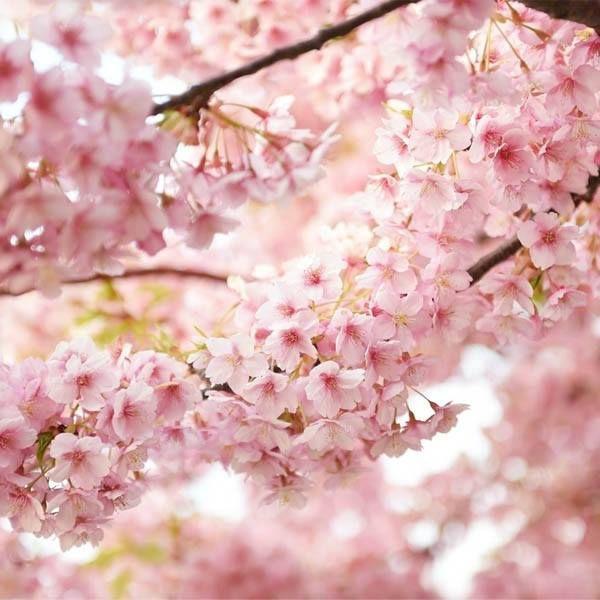 Japan S Beautiful Pink Cherry Blossoms Japankuru Pink Sakura Kawaii Flowers Japan Spring Springcolors Cherryblossoms Blosso Japan Spring Japan Sakura