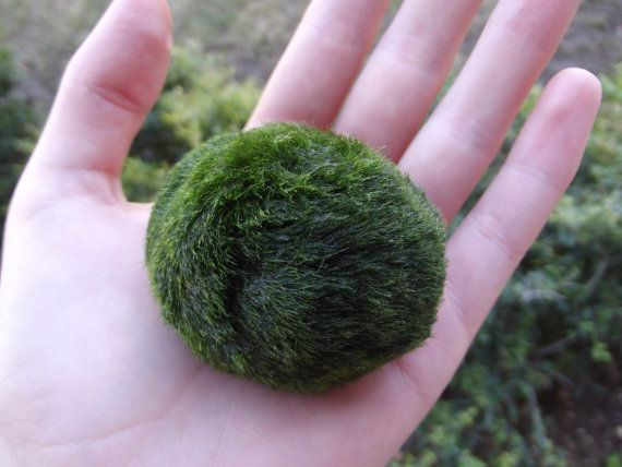 Giant Japanese Marimo Moss Ball - 毬藻 its alive! this marimo is about 6 years old.  Many Japanese have Marimo as pets in their homes and offices. They are beautifully soft and smooth like velvet and are very easy to care for