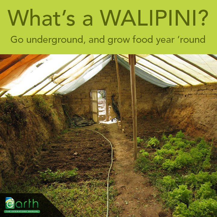 A walipini is a greenhouse that is built into the ground to take advantage of the more stable temperatures and thermal mass of the earth. Ranging from simple to elaborate, these structures allow you to grow all year long, in almost any climate on earth. Build your own, and take control of your food future!