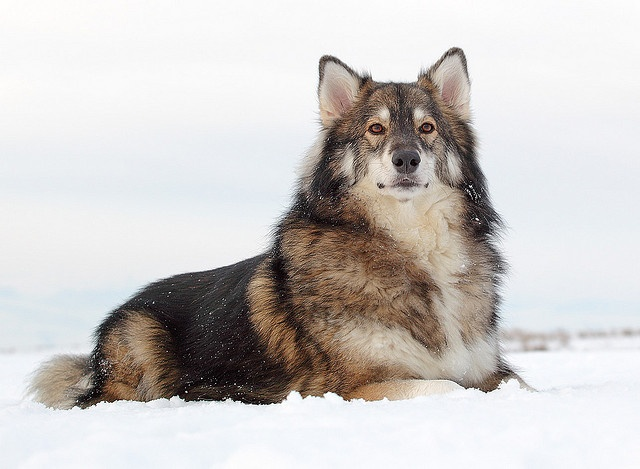 Best 25+ Alaskan shepherd ideas on Pinterest | Husky wolf ...  Best 25+ Alaska...