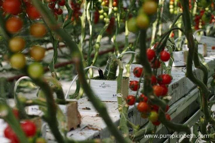 At Eric Wall Ltd, the F1 hybrid, grafted, tomato plants receive fertiliser via a liquid feed which is drip fed slowly over the course of the day, starting an…