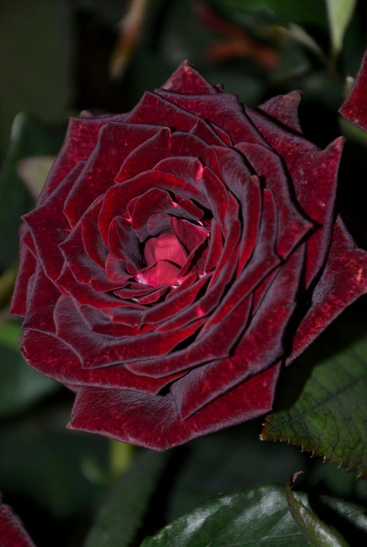 "Rose 'Black Magic' per Kitty Belendez ""I'm not sure that I really need four Black Magic bushes but I truly love that rose."""