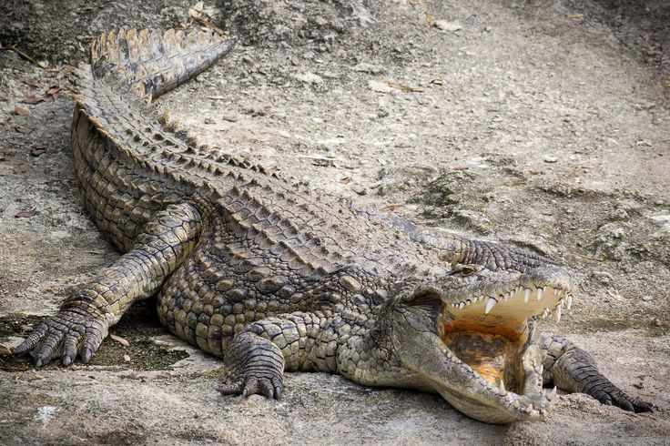 "#Crocodile at ""Le Cornelle"" park - Bergamo (BG) - Italy - #Animals #Photography"