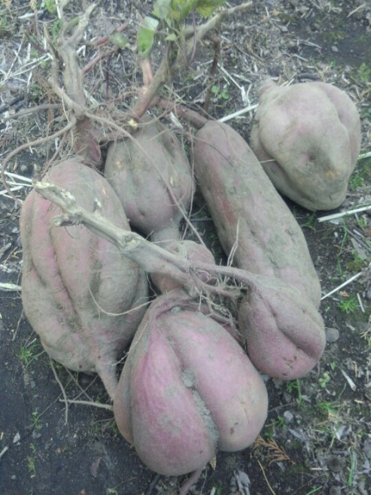 Very large sweet potato that I was able to harvest.