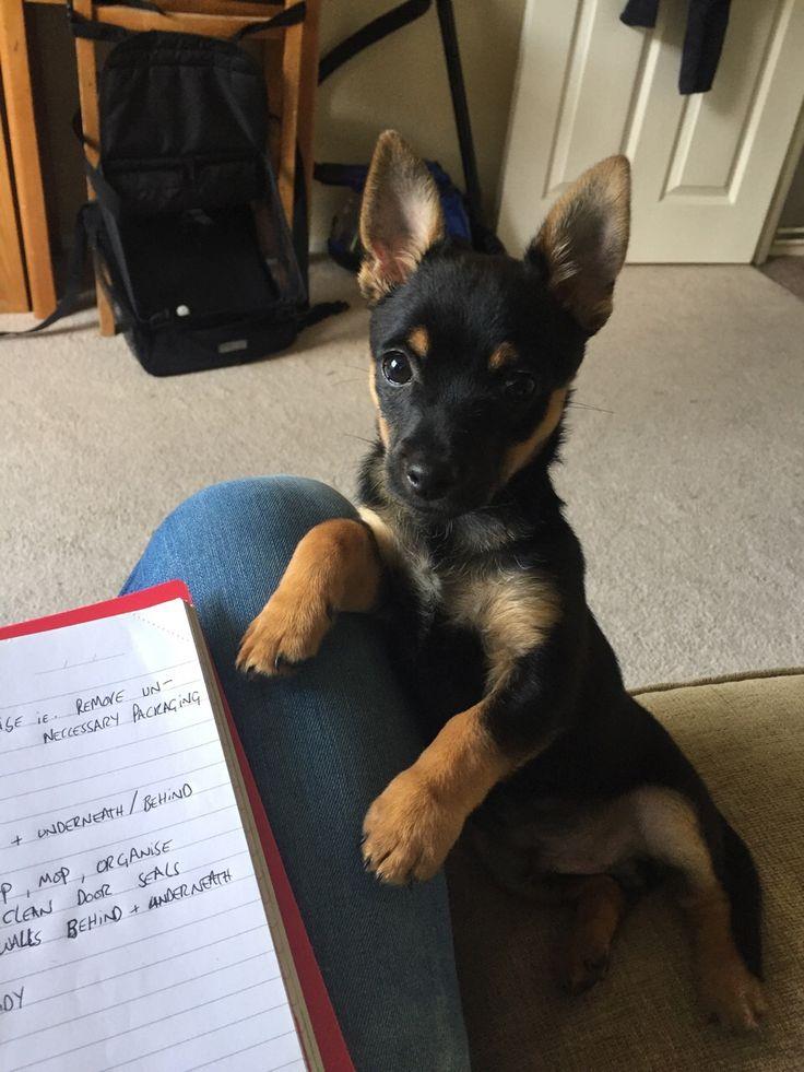 Baxter #Jackchi #Puppy