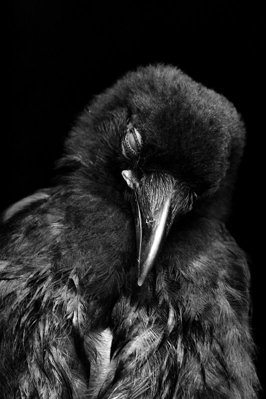 sleepy crow  by ~depleted ... some little crows hate falling asleep and fight it every step of the way, note the nictating inner eyelid is closed while the outer lids remain open.    moments later they were off in dreamland.