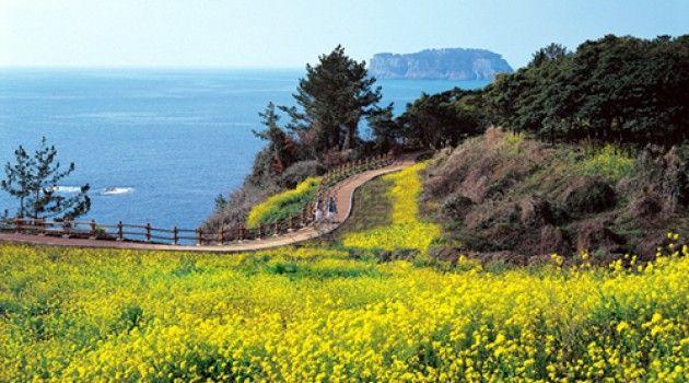 Indahnya bunga Canola di Pulau Jeju