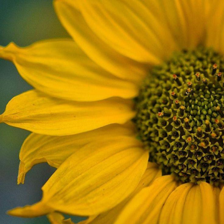 A má qualidade do ar misturado com o teu perfume devem ter me entorpecido e agora eu estou gostando de você... #vscogrid #vscocam #flowers #nature #macro #photograph #nikon #nikkor #OlhaAiDepoisDas11 by lipe_sk