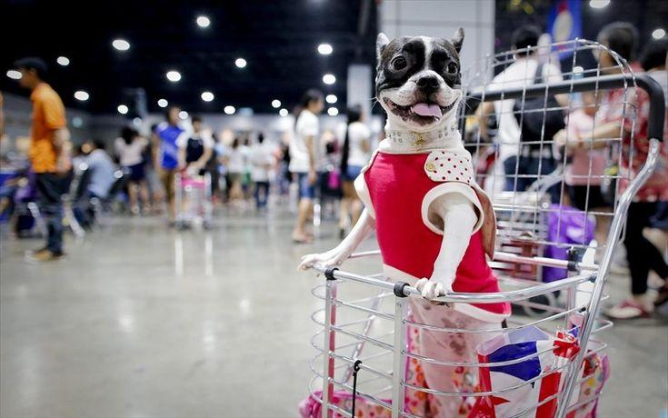 Γαλλικό μπουλντόγκ | Καλλιστεία για σκύλους στην Ταϊλάνδη ...
