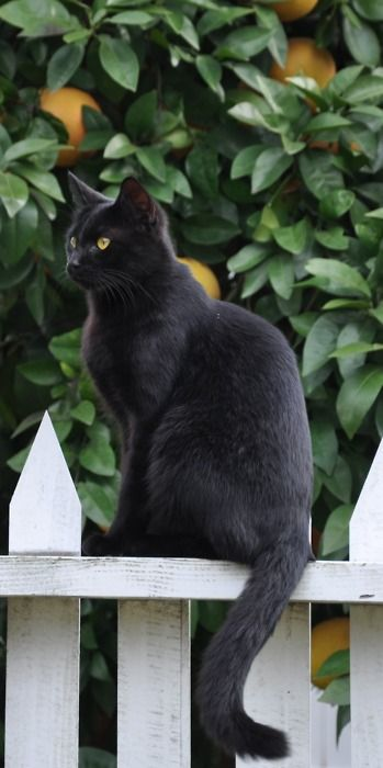 Beautiful Cat, Kitty Cat, Black Kitty, Chat Noir, Black Cats, Beautiful Black, Black Beautiful, Blackcat, White Picket Fence
