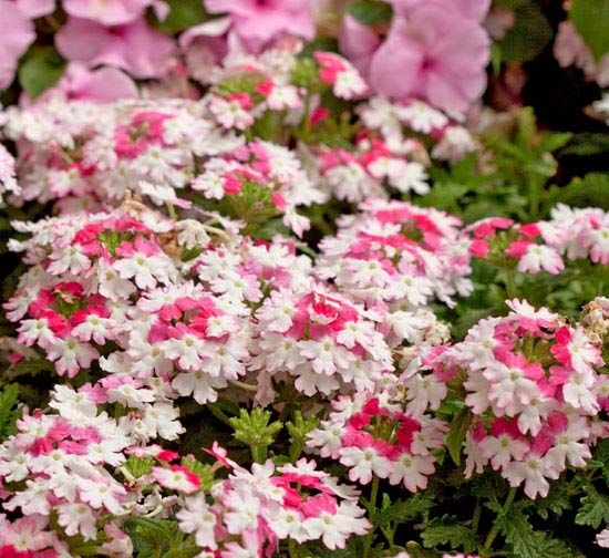 'Lanai Twister' Pink Verbena. Oh! can you imagine this trailing out of a pot with a billowing Hydrangea paniculata 'Vanilla Strawberry.'<-one of those Hydrangeas you can plant in some sun! (Note to self)