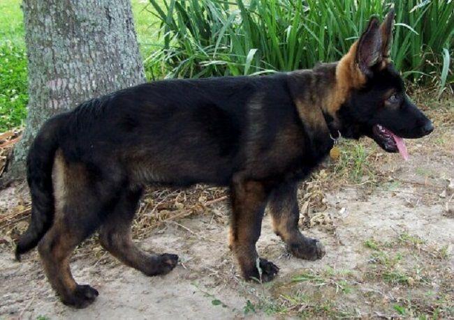 sable german shepherd puppies for sale | Zoe Fans Blog