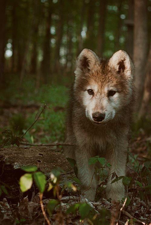 Wolf cub                                                                                                                                                                                 Más