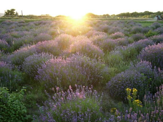 hungarian lavender from Tihany