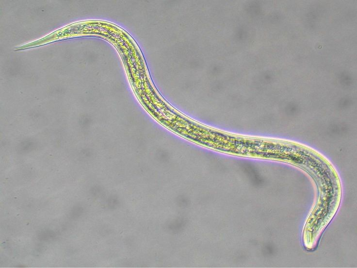The nematodes or roundworms constitute the phylum Nematoda. They are a diverse animal phylum inhabiting a very broad range of environments