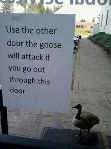 goose attack hahahahha
