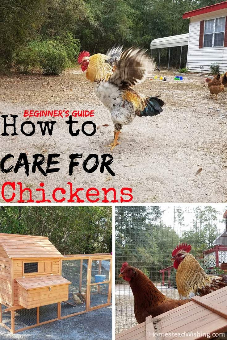 How to care for chickens. What is it really like to care for chickens? Chicken care. Chicken beginner's guide. Learn how to care for chickens. http://homesteadwishing.com/how-to-care-for-chickens/    Homestead Wishing, Author Kristi Wheeler  