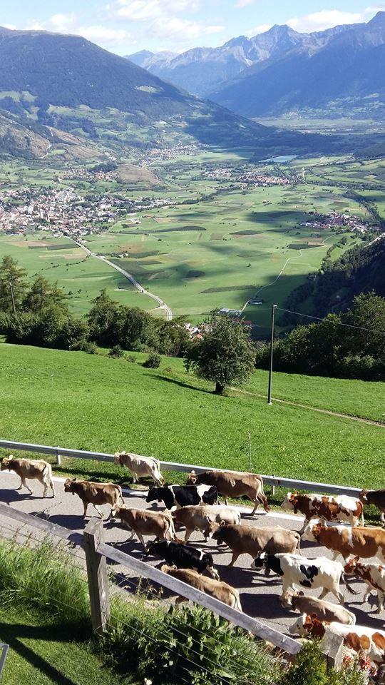 Der traditionelle Almabtrieb zieht beim Alpin & Relax Hotel DAS GERSTL in Burgeis vorbei