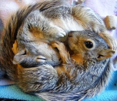 Baby squirrels cuddled to keep each other warm ♥