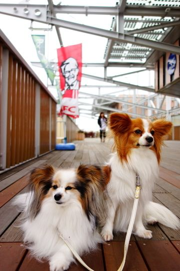 Papillon dogs (remind me my first dog in my childhood time ) Minu