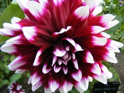Como cultivar dalias - Como cultivar crisantemos ...