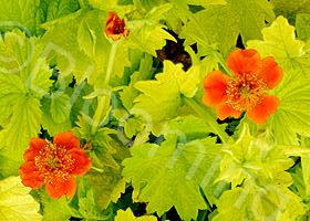 Geum Eos Is A Low Growing Perennial With Brilliant Orange Flowers In The Spring And Bright Yellow Green Evergreen Leaves Does Well Full Sun