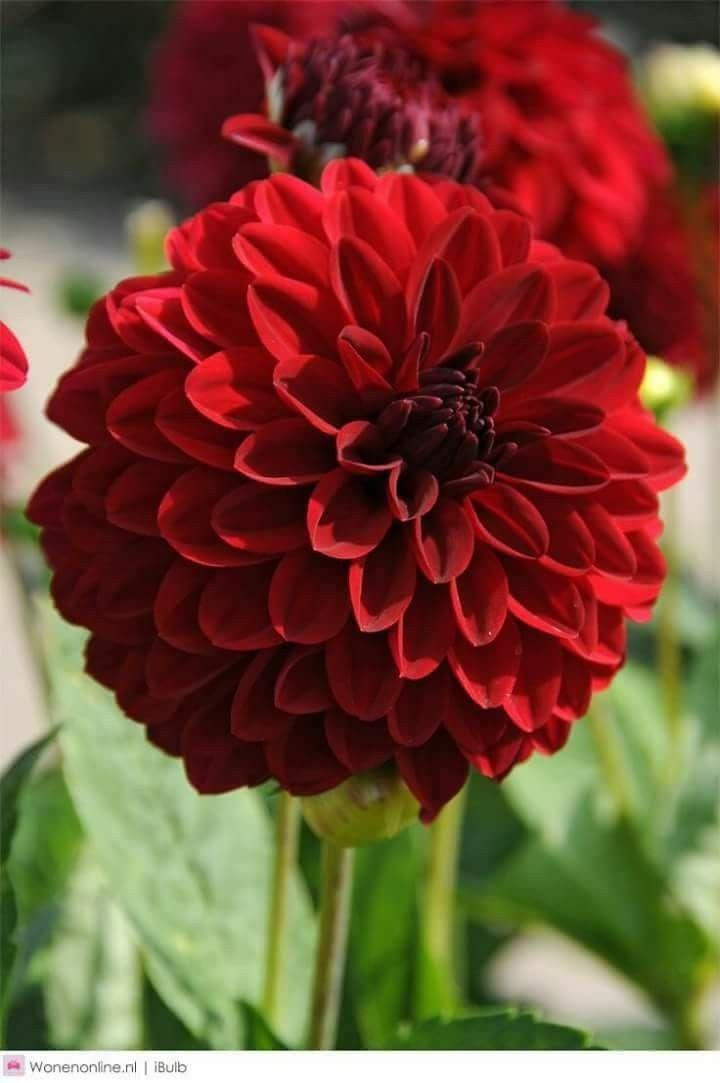 Pin By Nina On Dalhias Dahlia Flower Dahlia Beautiful Flowers