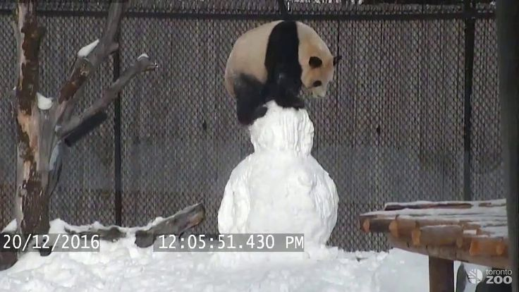 A Playful Giant Panda Methodically Disassembles an Innocent Snowman at the Toronto Zoo