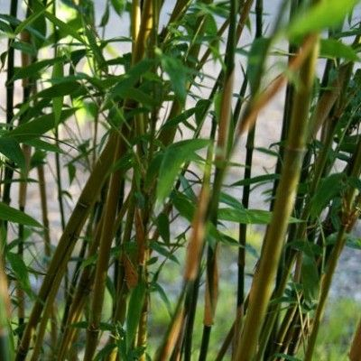 LeBambou Fargesia Denudata : un bambou non envahissant polyvalent Originaire de Chine, le Bambou Fargesia denudatapossède de petites feuilles persistantes sur des branches courtes. Les cannes sont vert à jaune pâle et elles virent au jaune doré au soleil. Un super effet qui fait ressortir les chaumes et les feuilles. Les jeunes ramifications sont rouge-cerise.Espèce encore peu répandue dans les jardins, le Fargesia denudata a pourtant toutes les qualités pour la réalisation d'...