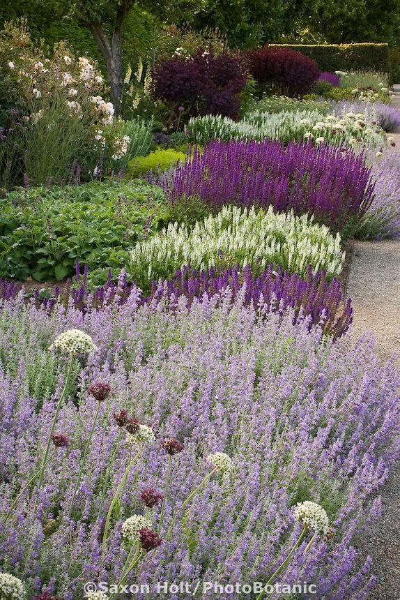 Summer perennial border with Catnip, ornamental onion flowers (Allium), white and purple sage (Salvia), Filoli garden