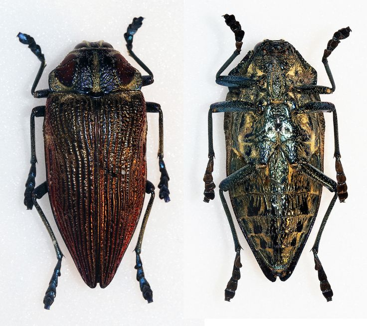 https://flic.kr/p/CFyTMA | Polybothris geayi lesnei | Thery,1926 Sex: ? Data: 06-04-03 - Mandraka park - Analamanga Region - Madagascar Size: 39mm