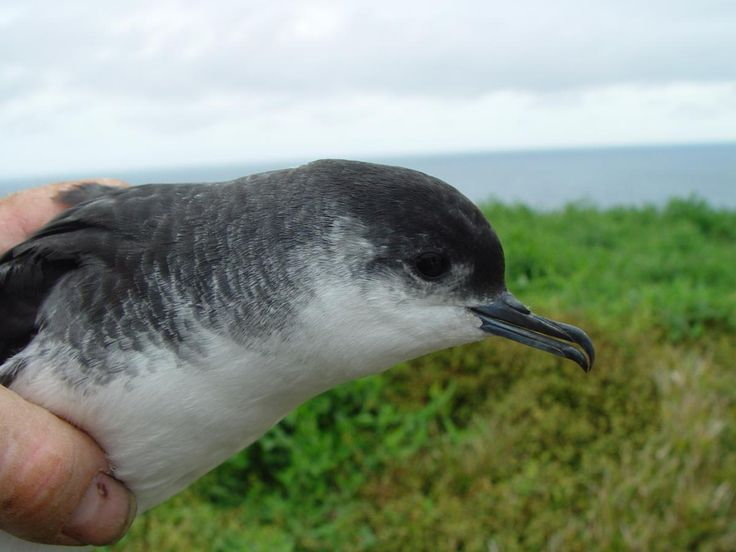 3921. Little Shearwater (Puffinus assimilis) | throughout the oceans south of the Tropic of Capricorn