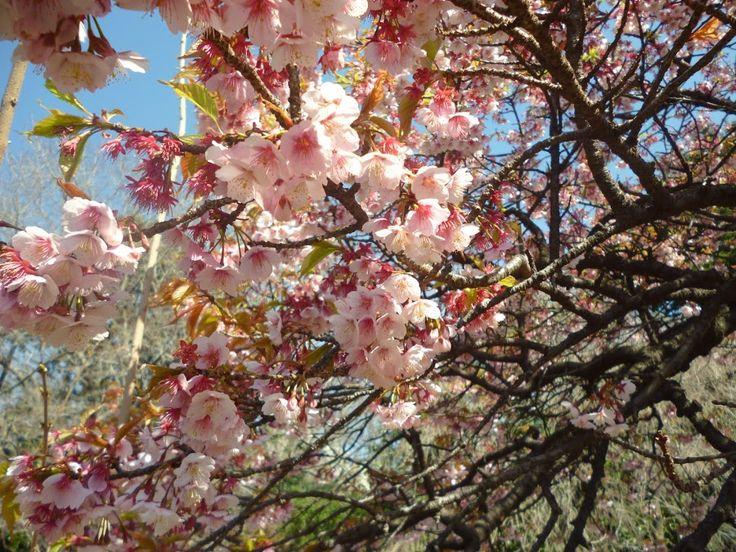 Sakura by Renie A. Priyanto - Flowers Tree Blossoms ( japanese garden, japanese gardens, japanese culture, sakura, japanese )