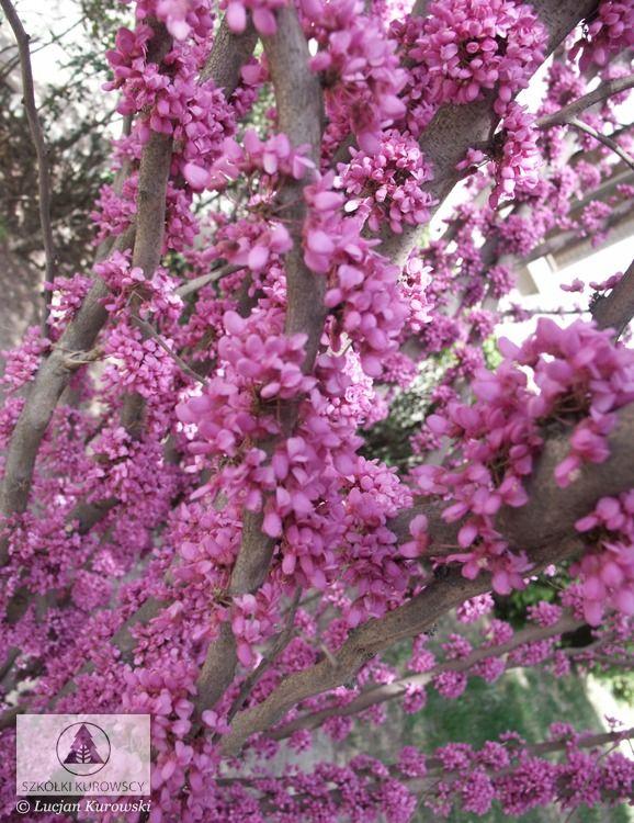 Cercis chinensis - Judaszowiec chiński