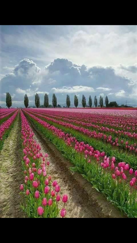 68 Best Keukenhof Images On Pinterest Netherlands The