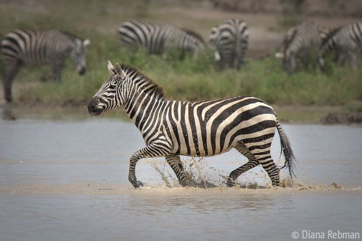Diana Rebman Photography | Plains Zebra Running in the Lake in Hidden Valley, Ndutu Ngorongoro Conservation Area, Tanzania