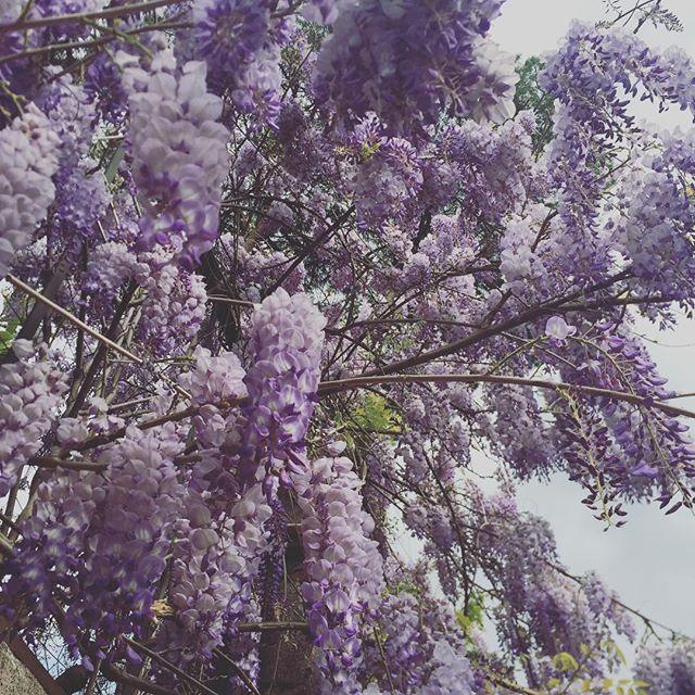 Sotto i glicini di Roma andar... 💜#glicine #ifioridinico #loves_flowers_