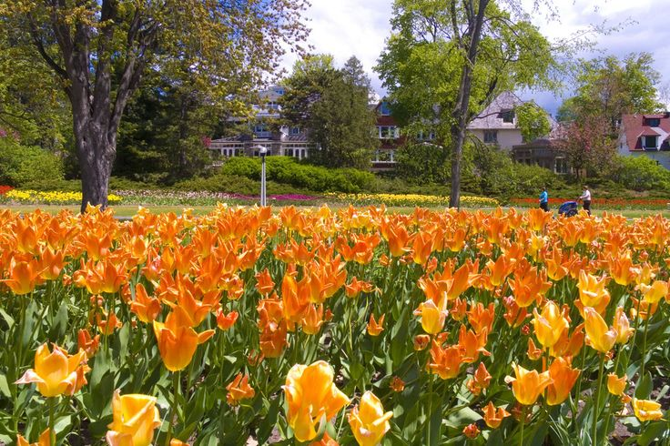 Ottawa   May means tulip season in Ottawa. From May 8 to May 18, the city celebrates the colorful Canadian Tulip Festival with floral displays throughout the city.