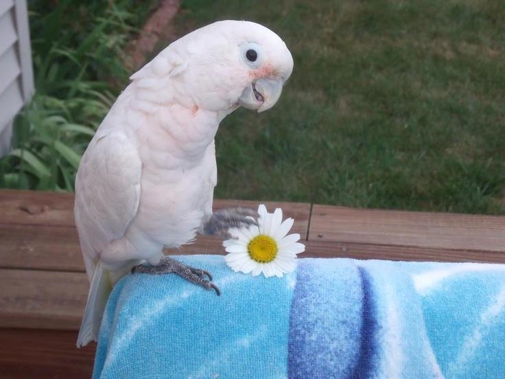 205 best Cockatoo images on Pinterest | Cockatoo ...