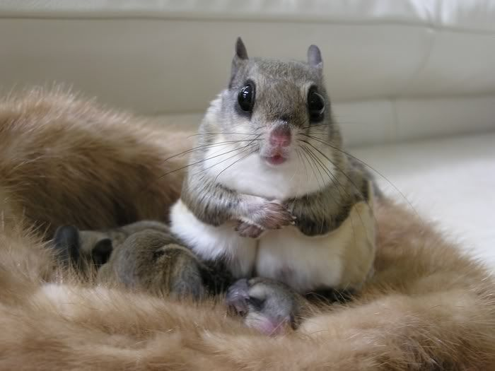 Flying squirrel momma and babies. She looks so polite. :)