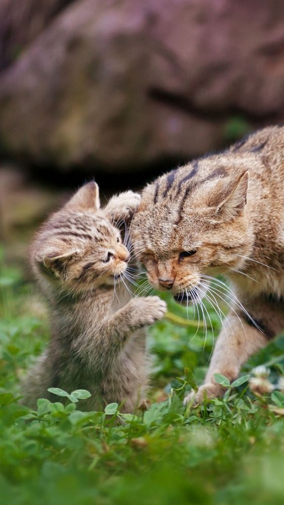 Kitten Play Fights With It's Mother
