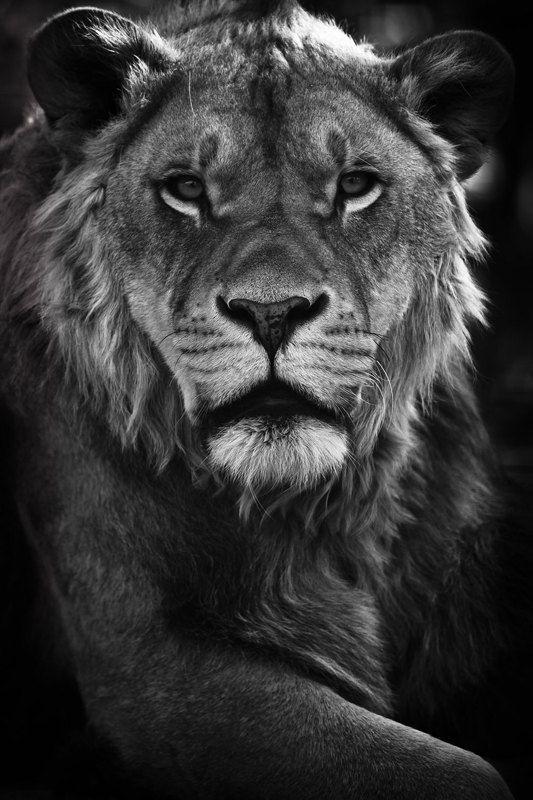 Lion Print - Wild Animals - Photo Art Prints - Close up - Nature Photos - Wildlife Photography - Nature Wall Art - Black and White Photo. $40.00, via Etsy.