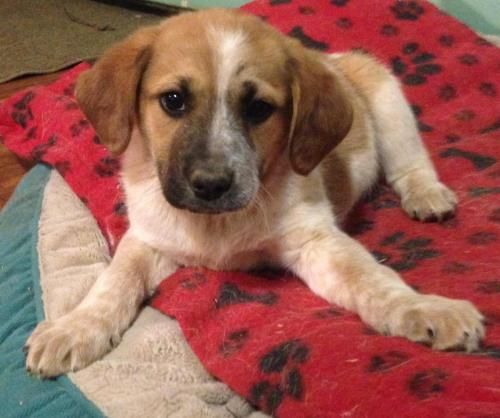 Aaron is an adoptable Australian Cattle Dog (Blue Heeler), Saint Bernard Dog in Lawrenceburg, KY Aaron is the cuddle bug of the bunch!  He is 10 weeks old and loves everyone he meets!His ado ... ...Read more about me on @petfinder.com